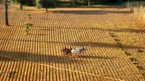 Granjeros birmanos no identificados que montan a través de campo del arroz Paisaje rural con los animales del campo en Bagan Myan metrajes