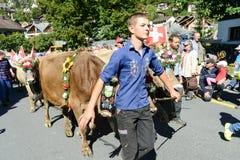 Granjeros con una manada de vacas en la trashumancia anual en Engelb Imagen de archivo