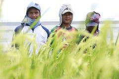 Granjeros del arroz Fotografía de archivo