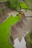 Granjeros del arroz Fotos de archivo libres de regalías