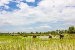 Granjeros del arroz de la estación Fotos de archivo libres de regalías