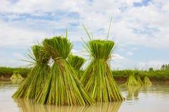 Granjeros del arroz de la estación Imagenes de archivo