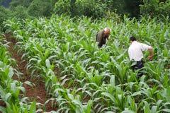 Granjeros del maíz en Imagen de archivo