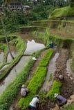 Granjeros indonesios de los hombres que trabajan en una terraza del arroz en Ubud, Bali Imagenes de archivo
