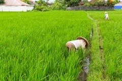 Granjeros indonesios que trabajan en campo verde del arroz Agricultura Foto de archivo