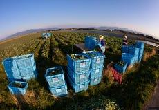 Granjeros japoneses en un campo del bróculi Foto de archivo libre de regalías
