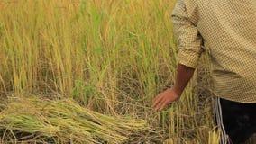 Granjeros locales tailandeses septentrionales locales del arroz que cosechan, a mano, cosechas enormes del arroz y poniéndolas ha almacen de metraje de vídeo