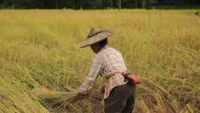 Granjeros locales tailandeses septentrionales locales del arroz que cosechan, a mano, cosechas enormes del arroz y poniéndolas ha almacen de video
