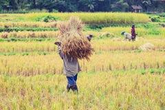 Granjeros que cosechan el arroz en campo del arroz Imagen de archivo