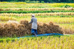 Granjeros que cosechan el arroz en campo del arroz Imagenes de archivo
