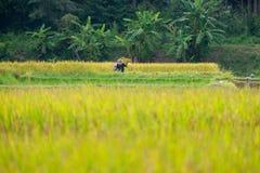 Granjeros que cosechan el arroz en campo del arroz Fotografía de archivo libre de regalías