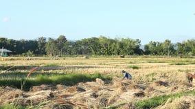 Granjeros que cosechan el arroz en el campo, Tailandia almacen de video