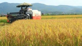Granjeros que cosechan el arroz en los campos por la máquina almacen de video