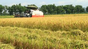 Granjeros que cosechan el arroz en los campos por la máquina almacen de metraje de vídeo