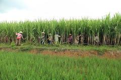 Granjeros que cosechan en campo de la caña de azúcar Imagenes de archivo