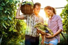 Granjeros que cosechan las uvas en un viñedo Imagenes de archivo