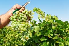 Granjeros que escogen las uvas de vino durante cosecha en un viñedo Fotografía de archivo libre de regalías