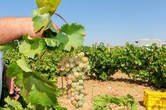 Granjeros que escogen las uvas de vino durante cosecha en un viñedo Fotos de archivo libres de regalías