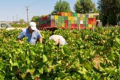 Granjeros que escogen las uvas de vino durante cosecha en un viñedo Imagenes de archivo
