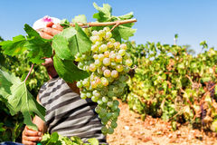 Granjeros que escogen las uvas de vino durante cosecha en un viñedo Imagen de archivo