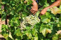 Granjeros que escogen las uvas de vino durante cosecha en un viñedo Imagen de archivo libre de regalías