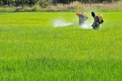 2 granjeros que rocían el insecticida en el campo del arroz Fotos de archivo