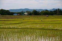 Granjeros que trabajan plantando el arroz Imágenes de archivo libres de regalías