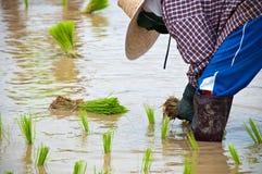 Granjeros que trabajan plantando el arroz Imagen de archivo libre de regalías