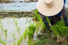Granjeros que trabajan plantando el arroz Fotografía de archivo libre de regalías