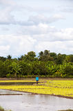 Granjeros que trabajan plantando el arroz en el campo de arroz Fotos de archivo