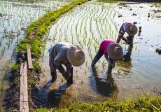 Granjeros que trabajan plantando el arroz en el campo de arroz Imagenes de archivo