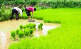 Granjeros y arroz Imagen de archivo libre de regalías