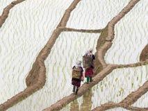 Granjeros y arroz joven listos al crecimiento en campos del arroz en colgante Imagen de archivo