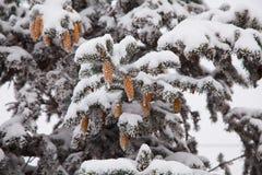 Grankottar i snön Arkivbild