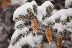 Grankottar i snön Fotografering för Bildbyråer