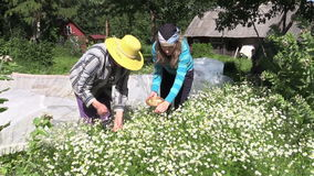 Granny and girl collect medicinal camomile, natural medicine stock footage