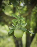 Granny Smith Apple Suspended from a Branch Stock Images