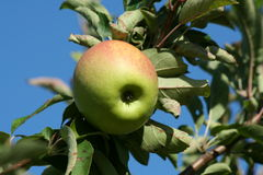 Granny smith apple on a tree Stock Photos