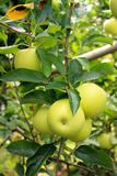 Granny Smith apples in apple tree Royalty Free Stock Images