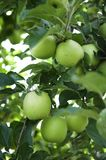 Granny Smith Apples. Granny Smith Apples branch laden with beautiful apples ready to pick in Australia Royalty Free Stock Image