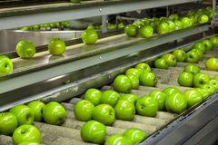 Granny Smith apples on a conveyor belt in a fruit packaging warehouse royalty free stock images