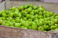 Granny Smith apples on a conveyor belt in a fruit packaging warehouse royalty free stock photos