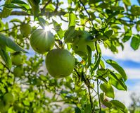 Granny Smith Apples. Hanging on apple tree with burst of sunlight Stock Photos