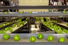 Free Granny Smith Apples On A Conveyor Belt Line In A Fruit Packing Warehouse Stock Photo - 168394380