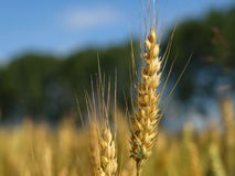 Grano. Ear of wheat on background of the sky Stock Images