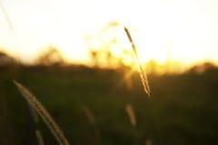 Grano ad alba con i raggi di sole Immagine Stock