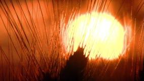 Grano al tramonto video d archivio