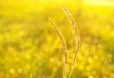 Grano alimenticio del trigo amarillo de oro en agri verde claro del campo de la mañana Fotografía de archivo libre de regalías