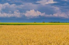 Grano amarillo de la cosecha debajo del cielo tempestuoso Campo del ingenio de oro del trigo fotos de archivo