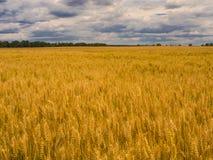 Grano amarillo de la cosecha debajo del cielo tempestuoso Campo del trigo de oro foto de archivo libre de regalías